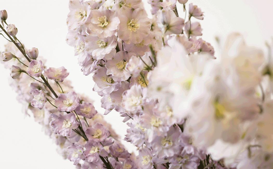 VONsociety: Rittersporn Blume der Woche, Hybridpflanze in Weiß und hellem Flieder