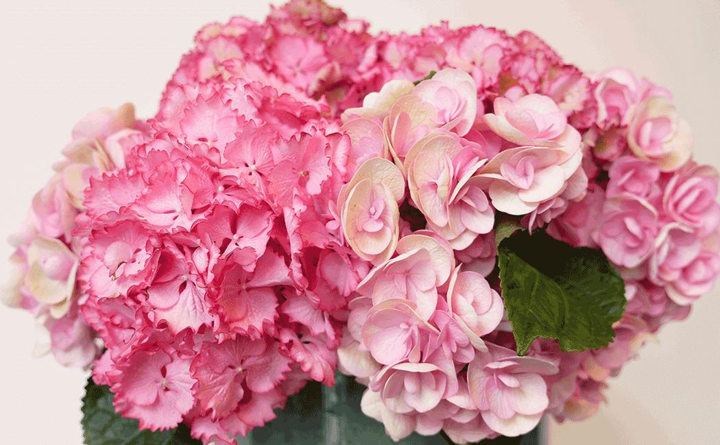 VONsociety: Die Hortensie, Closeup rosa Hortensienblüten